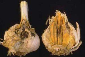 Болезни и вредители чеснока и борьба с ними