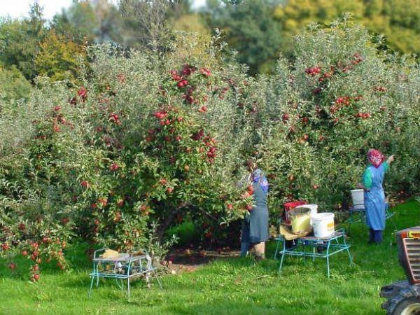 Любопытные факты о яблоках