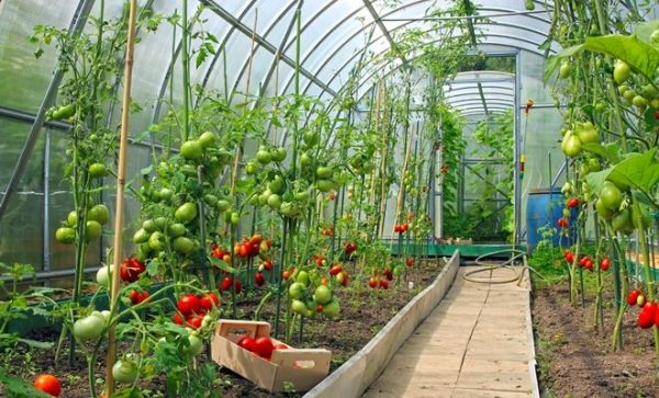 Все варианты подвязки помидор в открытом грунте
