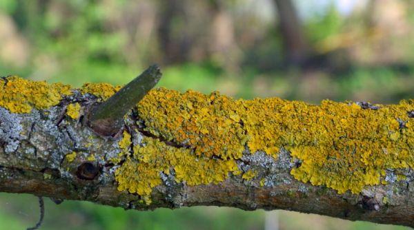 Как избавиться от мха и лишайников на плодовых деревьях{q}