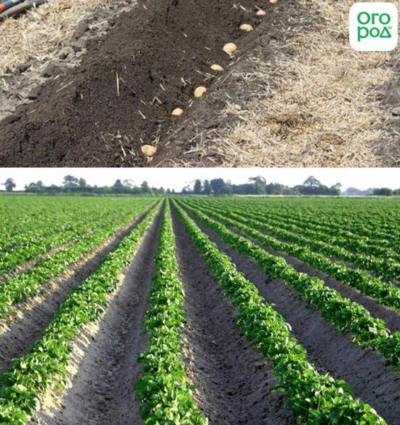 5 способов посадки картофеля