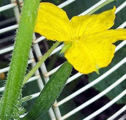 Почему завязь огурцов желтеет и опадает?