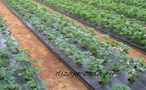 Как посадить клубнику правильно