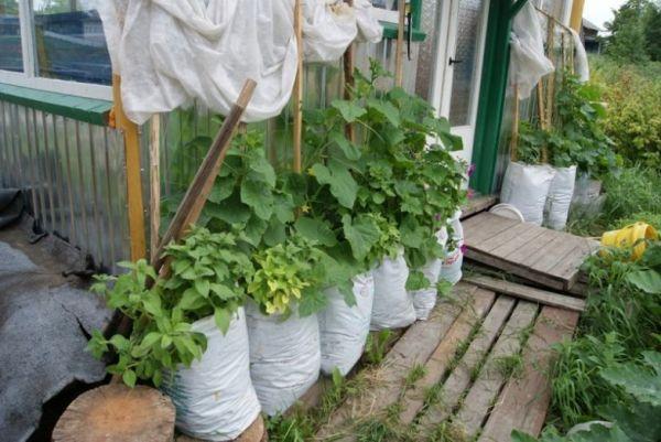 Вот как вырастить 1000 огурцов на 1 м²: простые и полезные советы