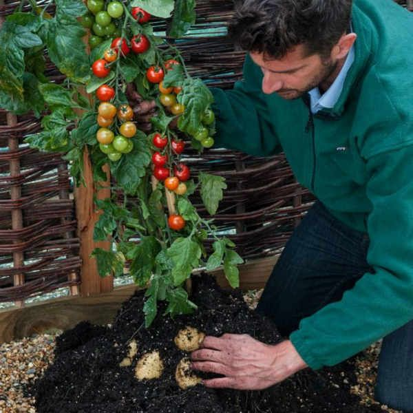 Как вырастить «помидофель»!