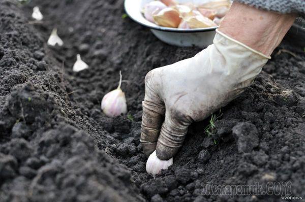 Лучшие схемы посадки чеснока