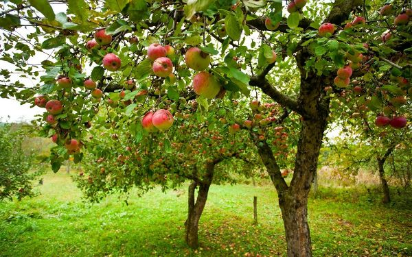 Почему яблоня плодоносит через год