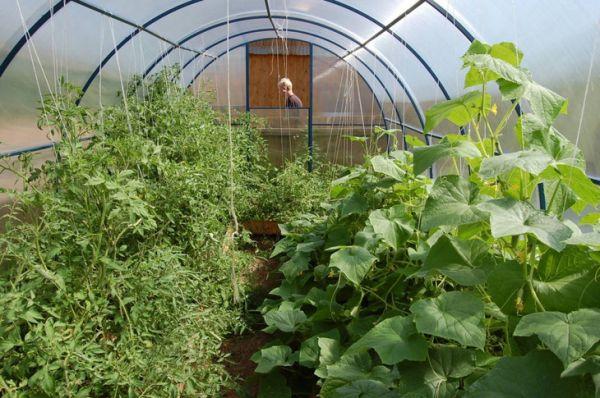Совместимость овощей в теплице — залог богатого урожая