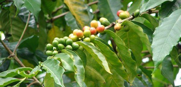Кофе Арабика – уход в домашних условиях