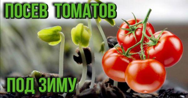 А вы пробовали посадить «Озимые» помидоры?