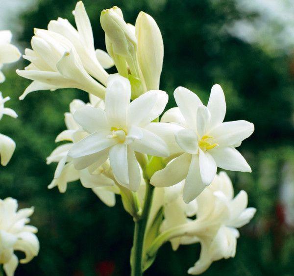 Тубероза - белая красавица в саду