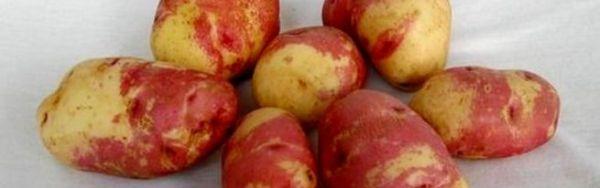 Картошка красная шапочка описание сорта