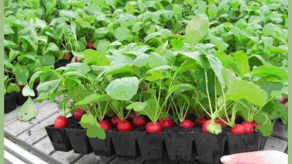 Правила выращивания редиса в теплице и открытом грунте