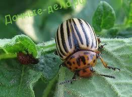 Борьба с колорадским жуком на баклажанах