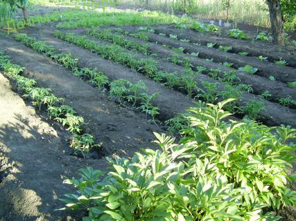 Совместимость овощных растений в уплотненных посевах