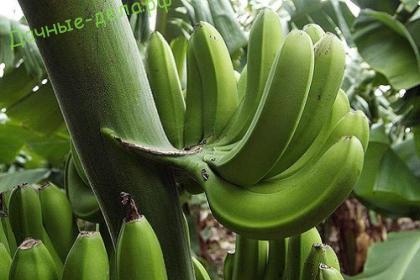 Как ухаживать за бананами