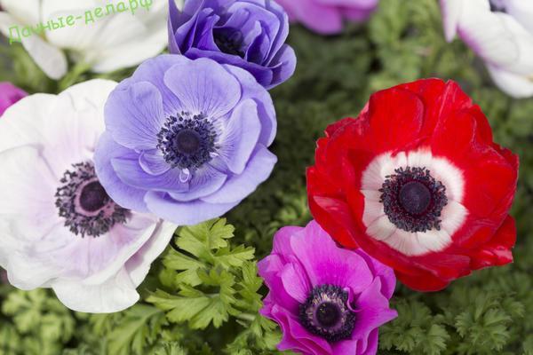 Как посадить анемону клубнями