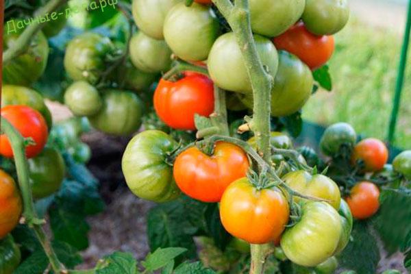 Томат Бетта: отзывы, фото, урожайность