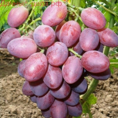 Лучшие столовые сорта винограда