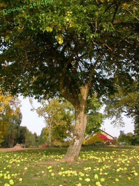 Маклюра оранжевая — дерево отчаявшихся