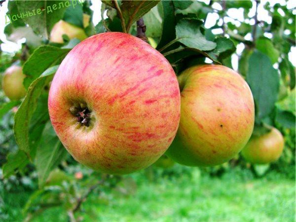 Лучшие сорта яблони для Подмосковья: фото описание
