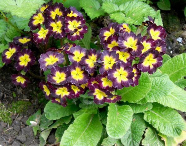 Примула - цветок из многочисленных легенд