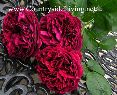 Розы в моем саду. Отзывы, фото. Английские розы Дэвида Остина, флорибунды, чайные, шрабы