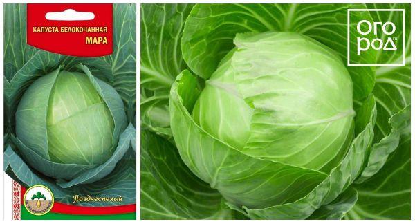 9 лучших сортов капусты для квашения