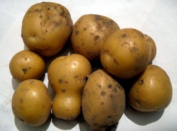 Надо ли поливать картофель?