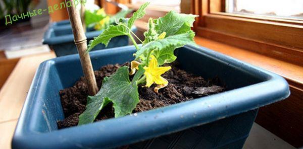 Блог -Выращивание огурцов на подоконнике зимой