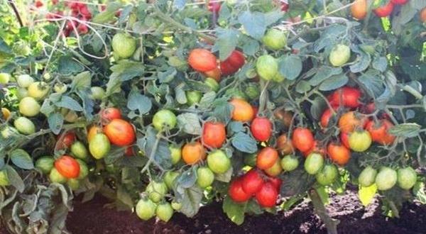 Описание сорта томата Министр, его характеристика и урожайность