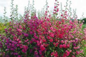 Кларкия изящная описание сортов и способов выращивания