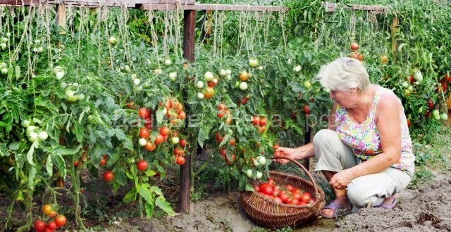 Выращ томатов по лунному календарю