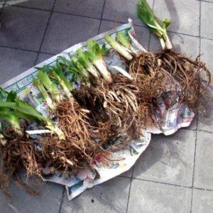 Лилейники посадка и уход в открытом грунте в сибири