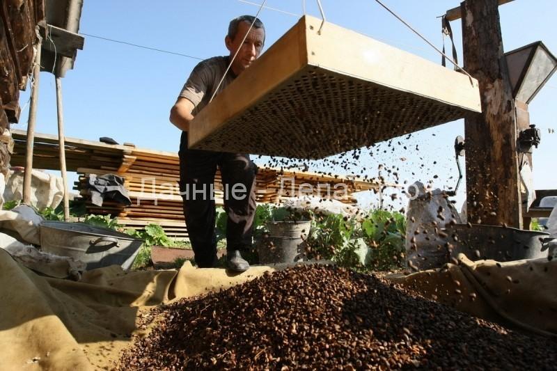 Когда созревают кедровые орехи в Сибири?