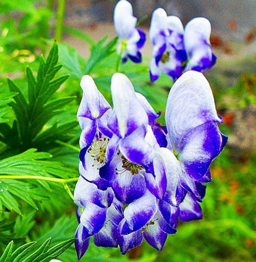 Растение с цветком неправильной формы - аконит
