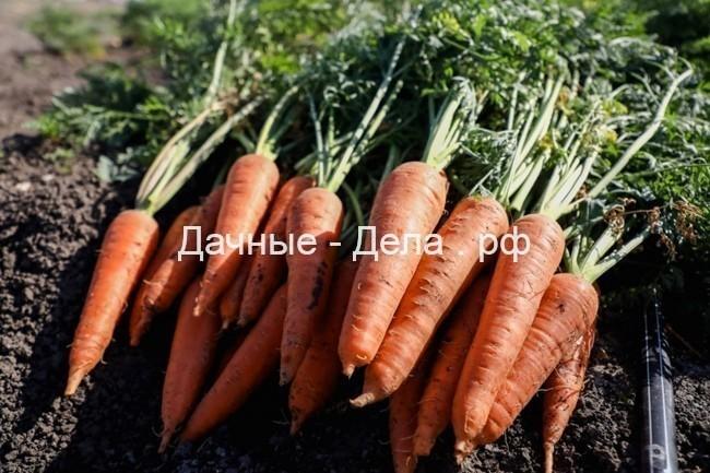 Морковь – как и когда сажать в 2021 году?