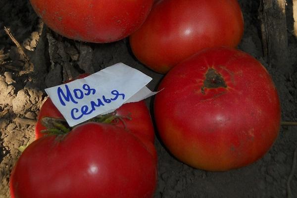 Описание сорта томата Моя семья, особенности выращивания и урожайность