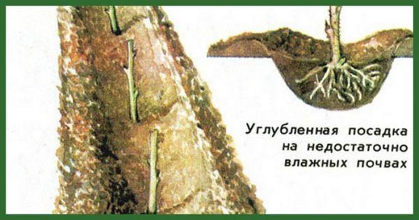 Характеристика сорта штамбовой малины Таруса