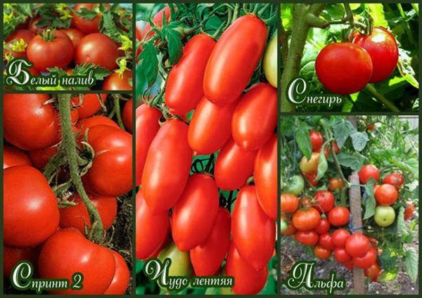 Безрассадный способ выращивания помидоров 51