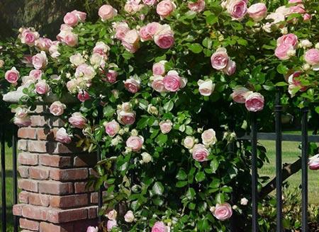 Плетистые розы — правила посадки, выращивания и ухода