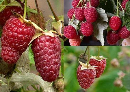 О лучших сортах малины