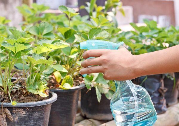 Раствор марганцовки: как применять в саду и огороде и чем его заменить