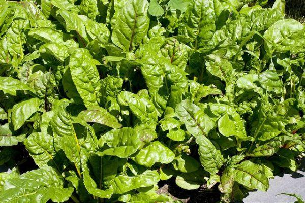 Как вырастить листовую свеклу мангольд на участке