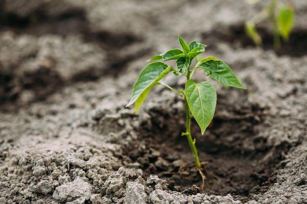 Выращиваем перцы: от двух листиков до полноценной рассады