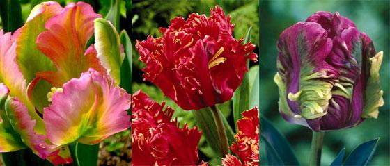 Тюльпаны: такие разные, прекрасные и удивительные