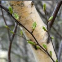 Какие лекарственные травы и растения собирают в мае
