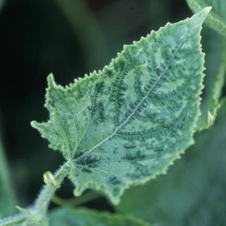 Основные болезни огурцов и меры борьбы с ними