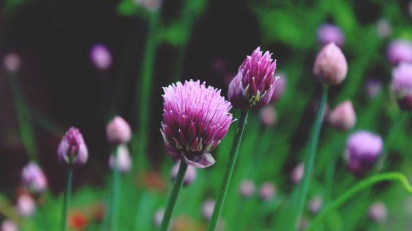 Шнитт-лук – сочный долгожитель