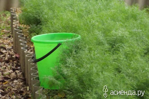 Как правильно сажать укроп на зелень 13